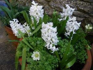 Hyacinths and anemones with buds March 2014