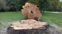 Cedar stump, Buscot April 2017