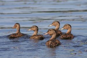 duck-416972_640