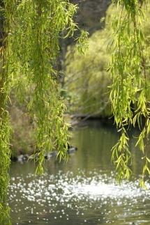 willow-367274_640 carecrit pixabay